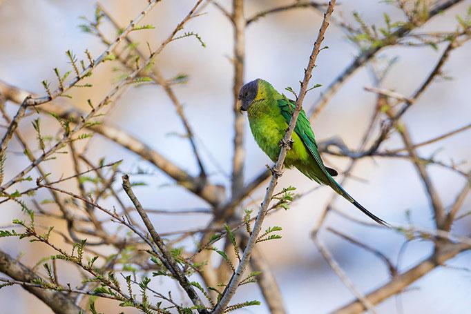 Perruche à tête Prune - Nagarahole National Park (Kabini)