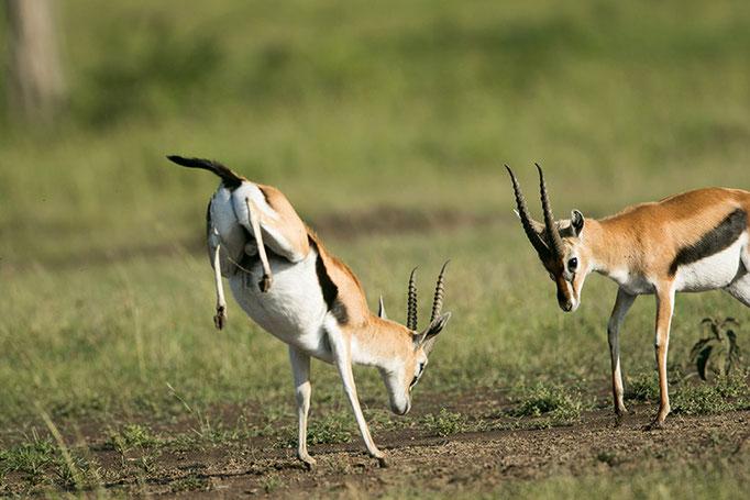 Maasai Mara: Les gazelles de Thompson commencent à se bagarrer pour attirer les femelles
