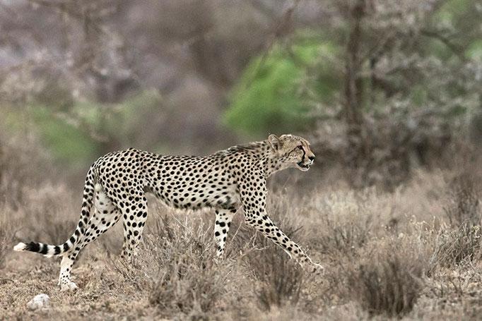 Samburu: Guépard