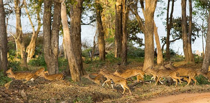 Cerfs Axis - Nagarahole National Park (Kabini)