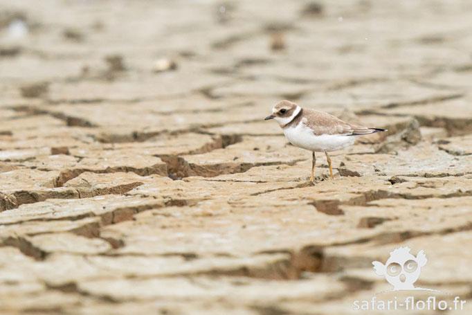 Petit Gravelot - Réserve Ornithologique du Teich