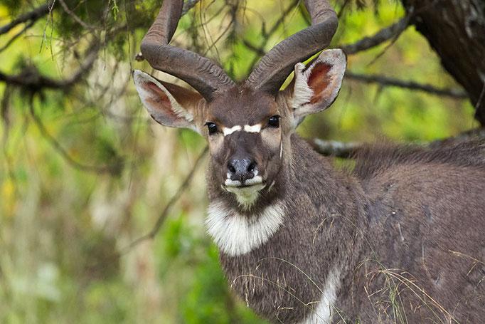 Balé Mountain National Park - Nyala des Montagnes mâle