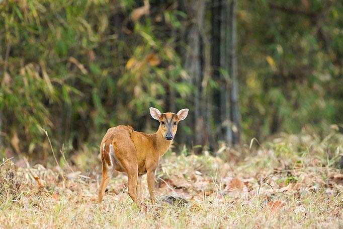 Muntjac ou Cerf Aboyeur - Tadoba Andhari Tiger Reserve
