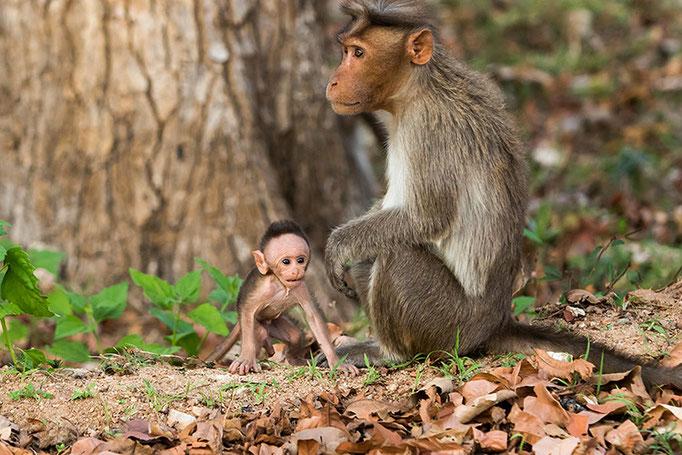 Macaques Rhésus - Nagarahole National Park (Kabini)