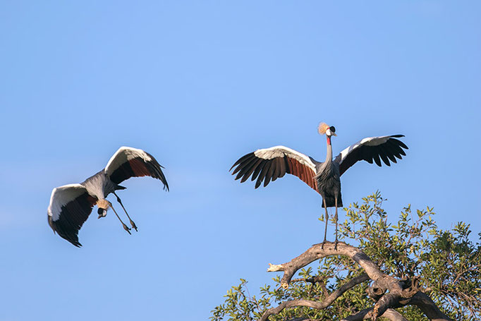 Maasai Mara: Couples de grues royales en pleine parade