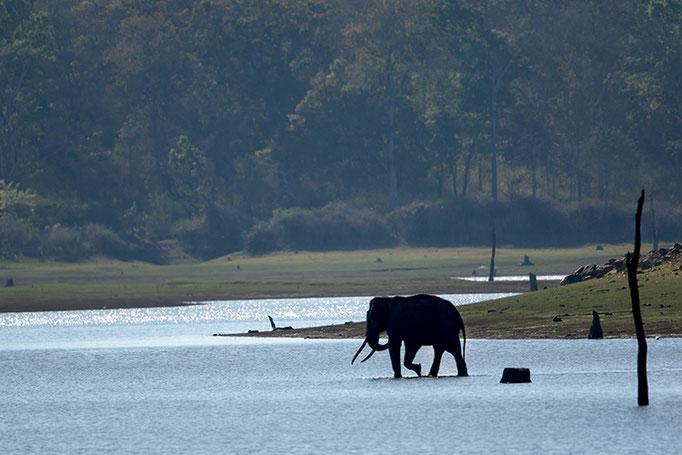 Elephant d'Asie - Nagarahole National Park (Kabini)