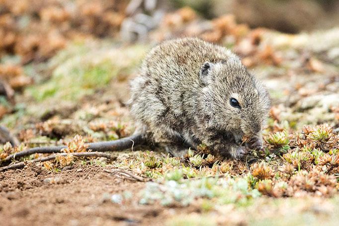 Balé Mountain National Park - Rat Siffleur