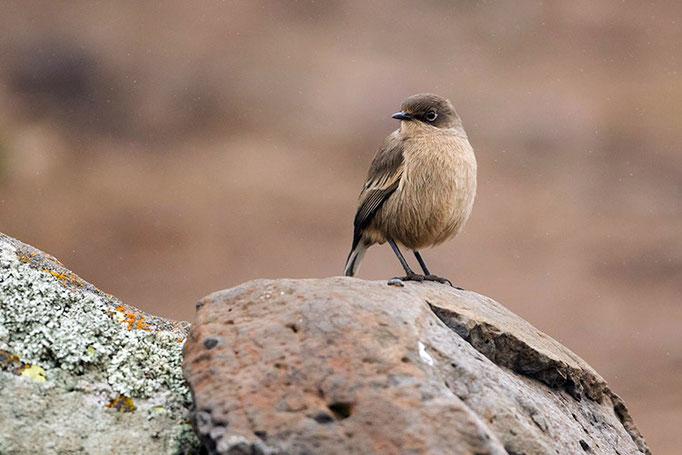 Balé Mountain National Park - Traquet Isabelle