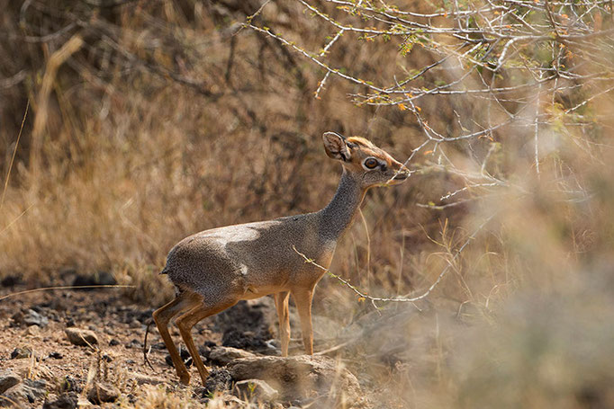 Awash National Park - Dik Dik