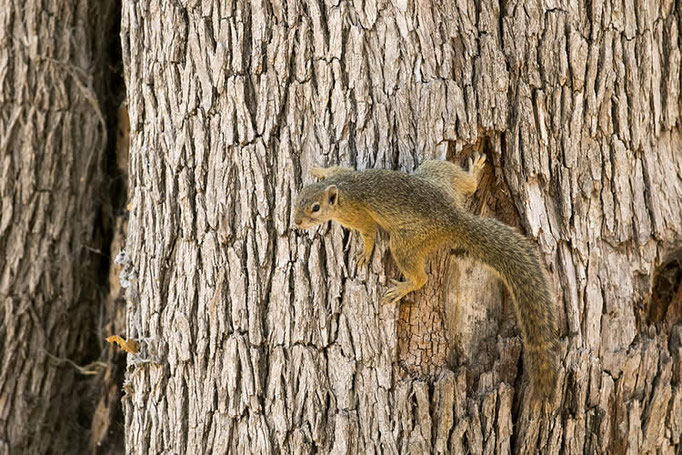 Ecureuil arboricole