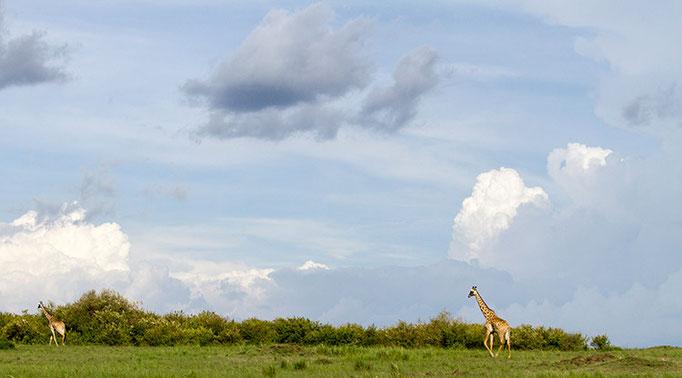 Maasai Mara: Girafe Masai