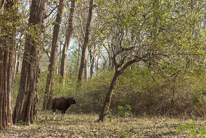 Gaur - Nagarahole National Park (Kabini)