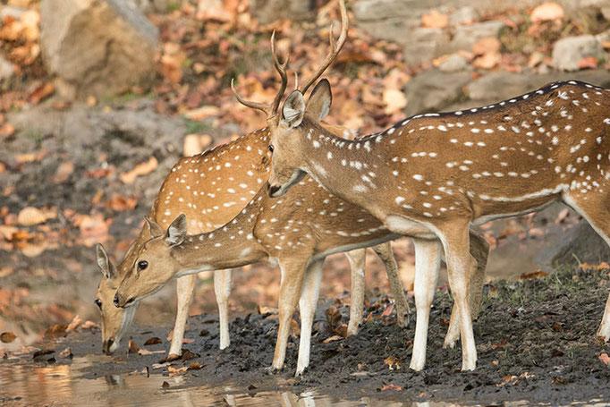 Réserve de Bandhavghar - Cerfs Axis