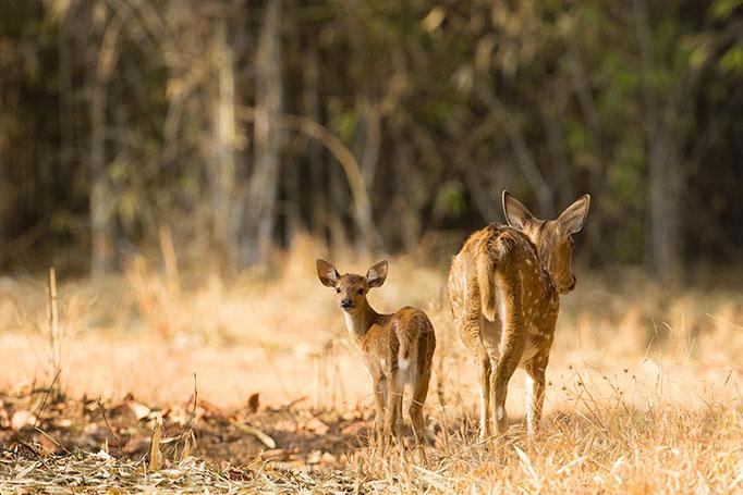 Cerfs Axis - Tadoba Andhari Tiger Reserve