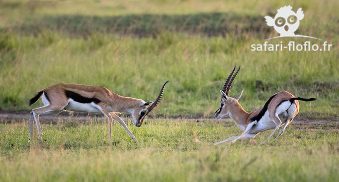 Combat de gazelles de Thompson