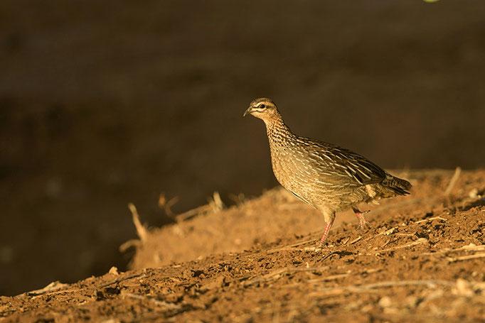 Samburu: Francolin Huppé