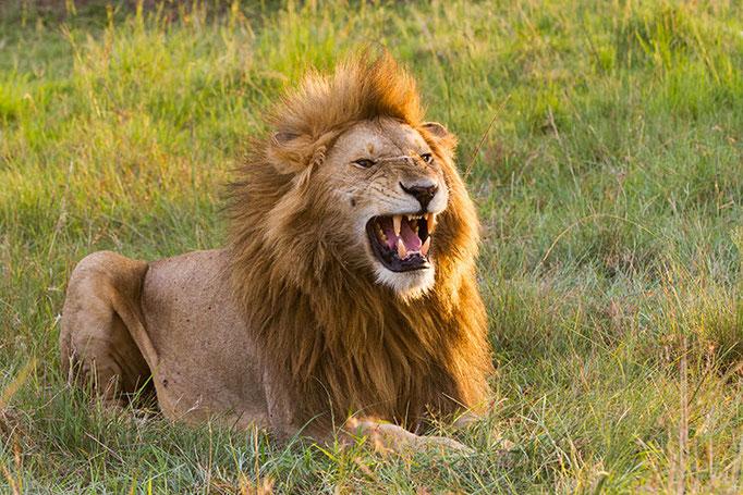 Maasai Mara: Lion mâle d'environ 10 ans (Morani)