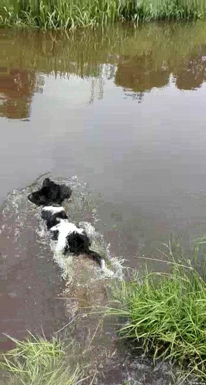 Met een enorme plons zwemt Invictus 12 weken oud voor het eerst zelfstandig naar de overkant - ( Invictus 12 weeks old swims with a big splash to the other side of the river )
