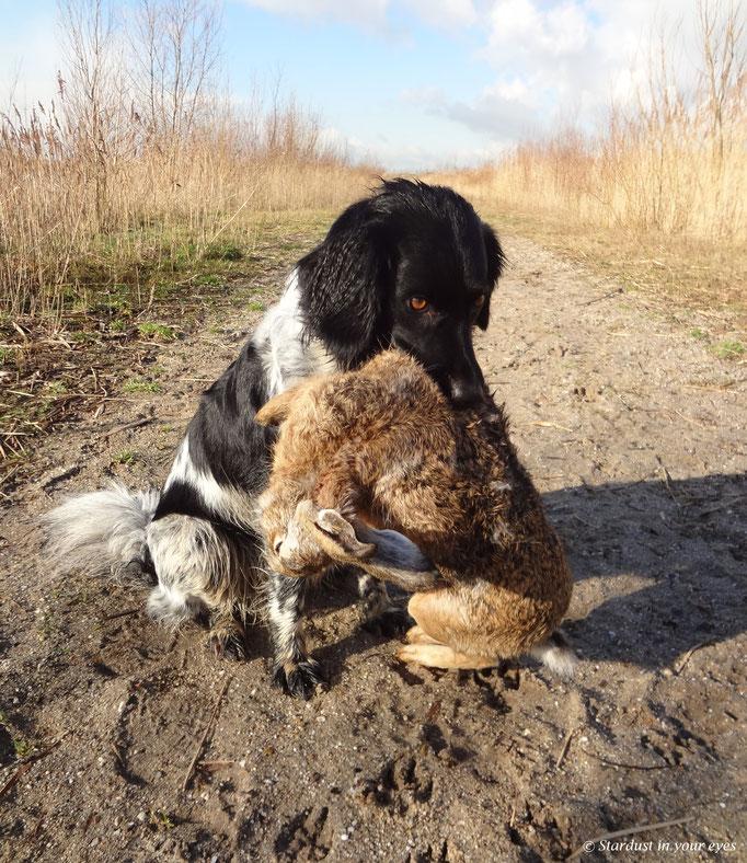 Tijdens een jacht een apport van een extreem grote haas - ( Bringing in a extremly big hare during a hunt)