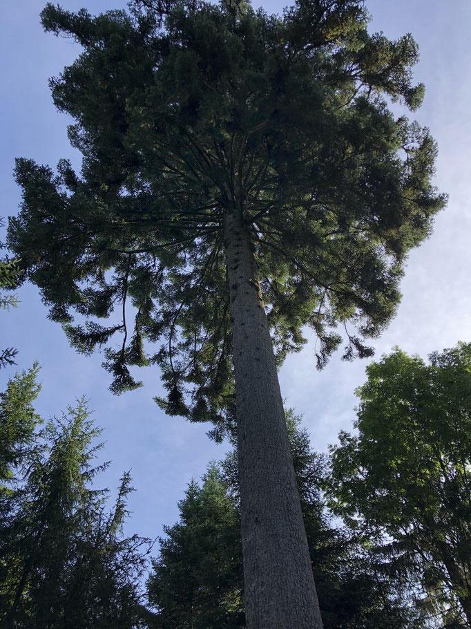 40 Meter hohe Tannen