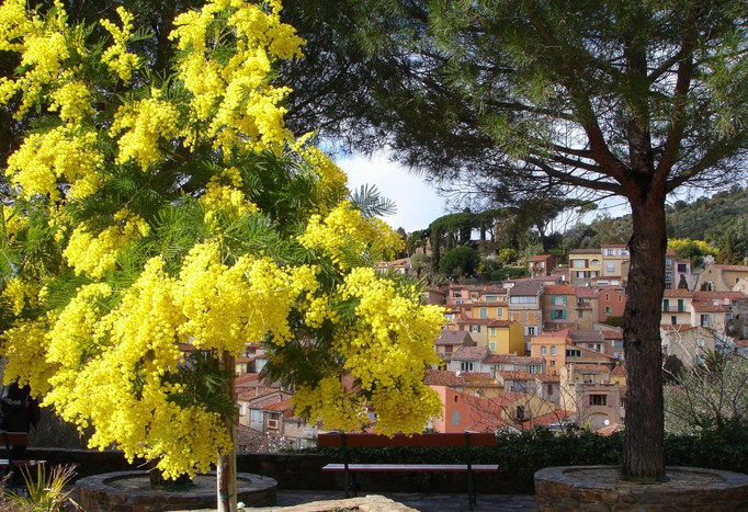 Vieux village fleuri mimosa