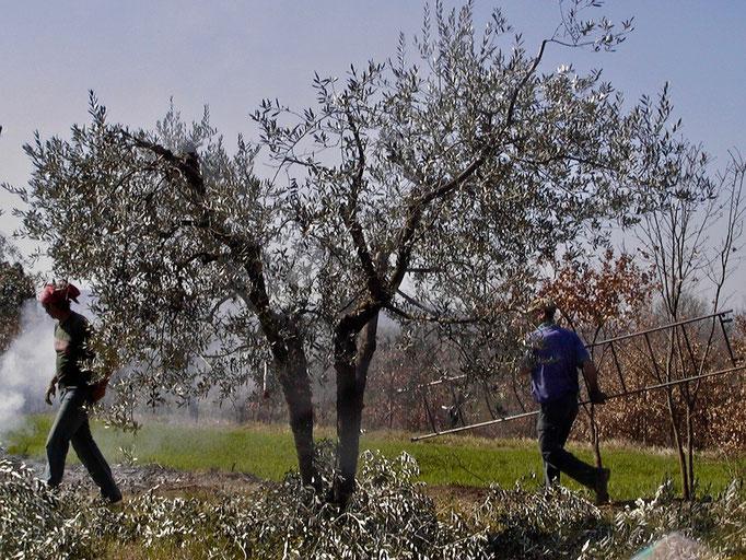 pruning, Agriturismo, Casafredda, Arezzo, Tuscany, Toscana