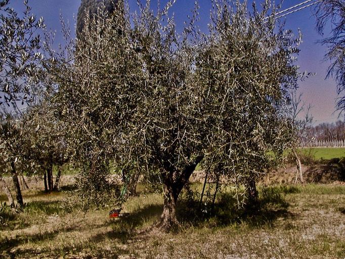 olive tree, Agriturismo, Casafredda, Arezzo, Tuscany, Toscana