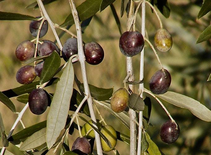 olive grove, olives,  Agriturismo, Casafredda, Arezzo, Tuscany, Toscana