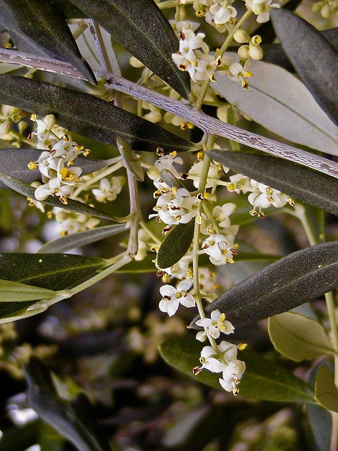 olive trees, flowers , Agriturismo, Casafredda, Arezzo, Tuscany, Toscana