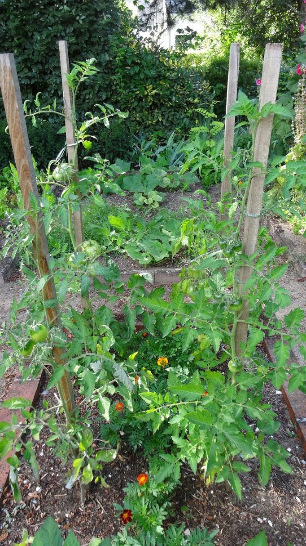 Les premières tomates