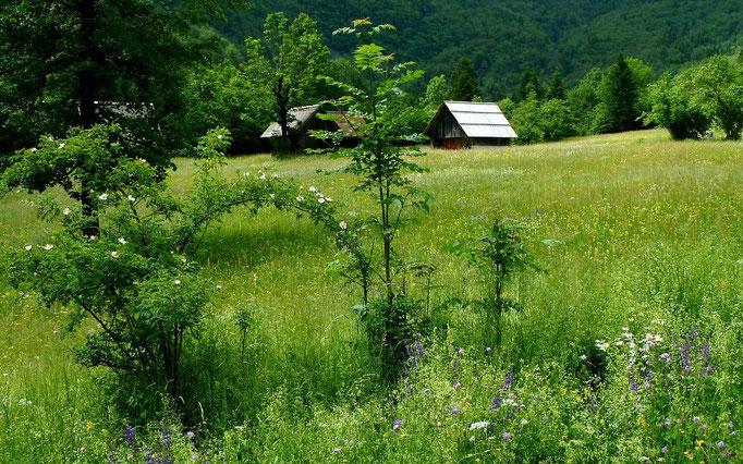 Wilde Heckenrosen auf der Almwiese im Vojetal