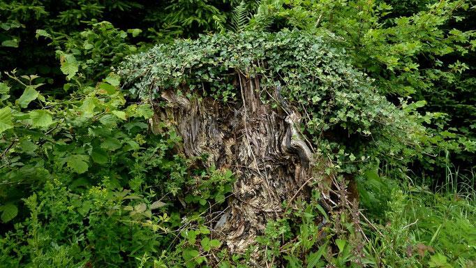 Mit Efeu überwachsener Wurzelstock am Weg zur Glaserhütte