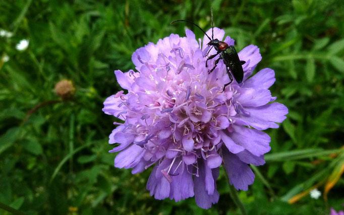 Käfer auf einer Skabiosenblüte