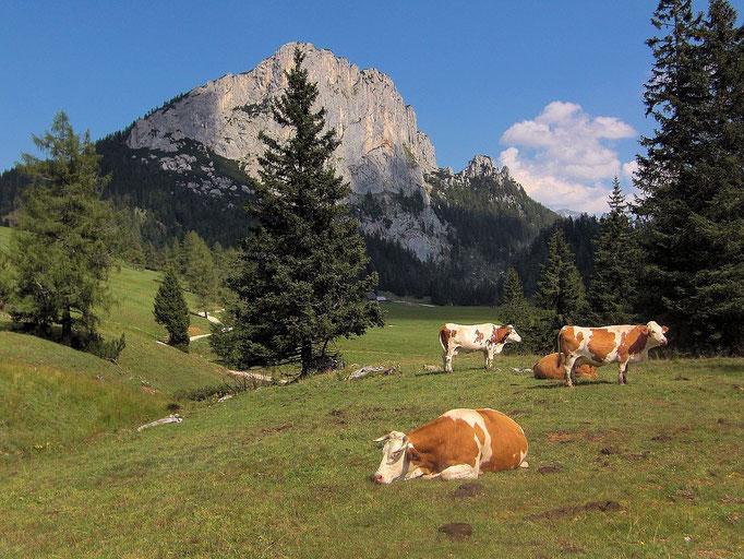 Kühe auf der Weide. Hinten Stubwieswipfel.
