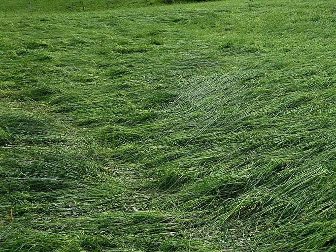 Niedergedrücktes und -gewalztes Gras. Keine Blumen waren in diesen vom Hagelwetter betroffenen Wiesen zu sehen.