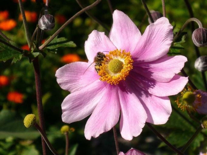 Wespe auf einer Gartenblume in Gößl