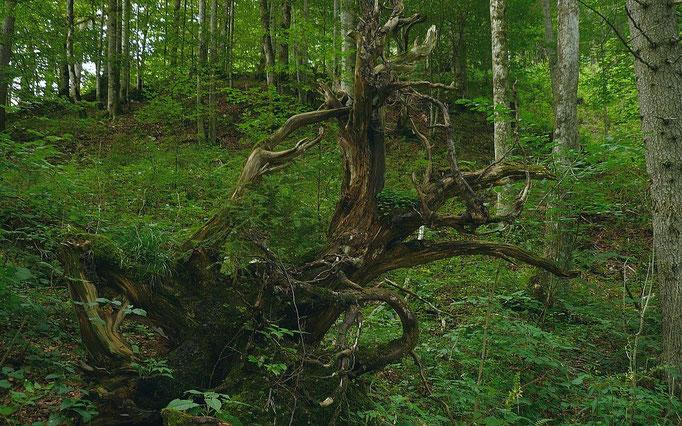 Baumstrunk im Wald vor der Rettenbachschlucht