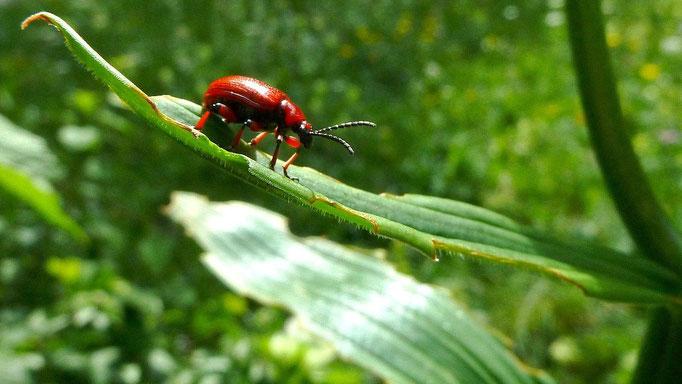 Diese Käferart ernährt sich von den Blättern der Krainer Lilie