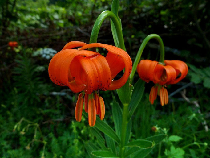 Orangefarbene Krainer Lilie