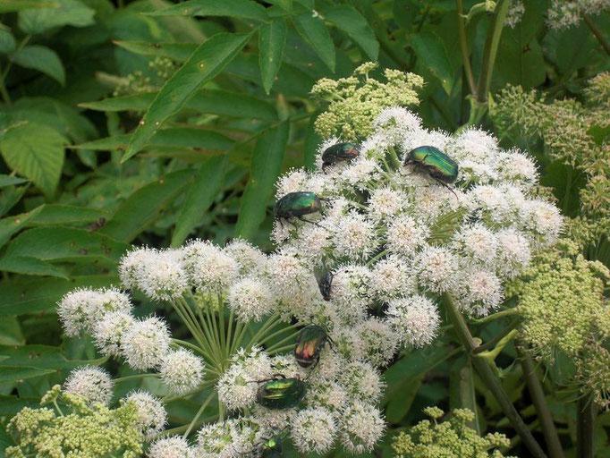 grüne schillernde Käfer auf weißer Blütendolde