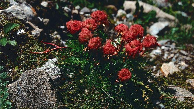 Gletscher-Petersbart. Der Fruchtstand der Alpenanemone.