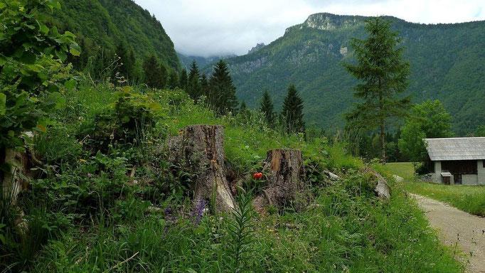 Die rste von uns gesichtete Krainer Lilie im Vojetal