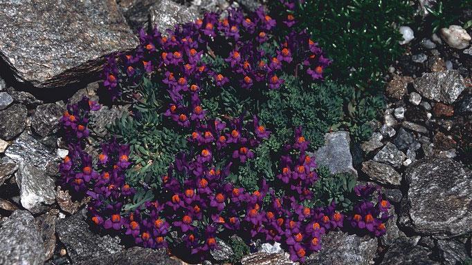 Blumenpolster am Wegrand