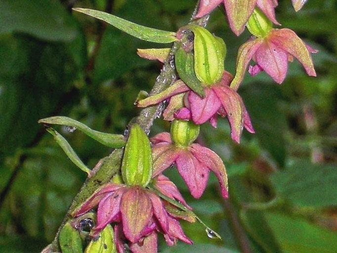 Blüten der Stendelwurz - einer heimischen Orchidee