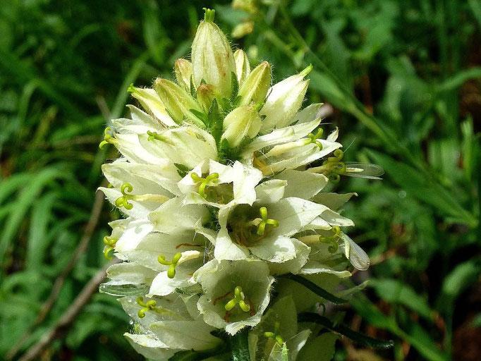 Krainer Straßglockenblume mit gut getarnten Insekten