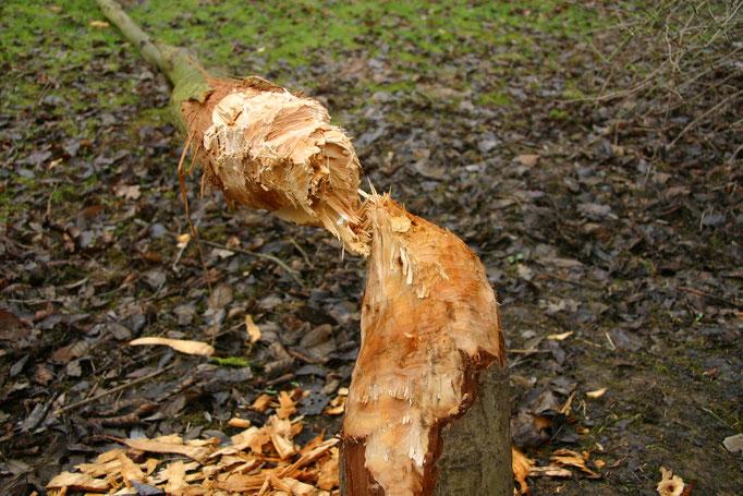 Detailansichtansicht 2 der gefällten Weide. Man kann die Sanduhr-förmige Stammbearbeitung gut erkennen (Foto: B. Budig, 02.02.2008).