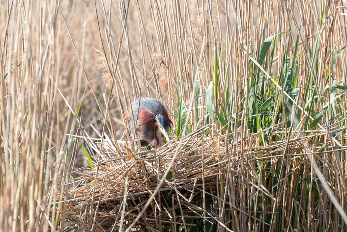 Purpurreiher (Foto: B. Budig)