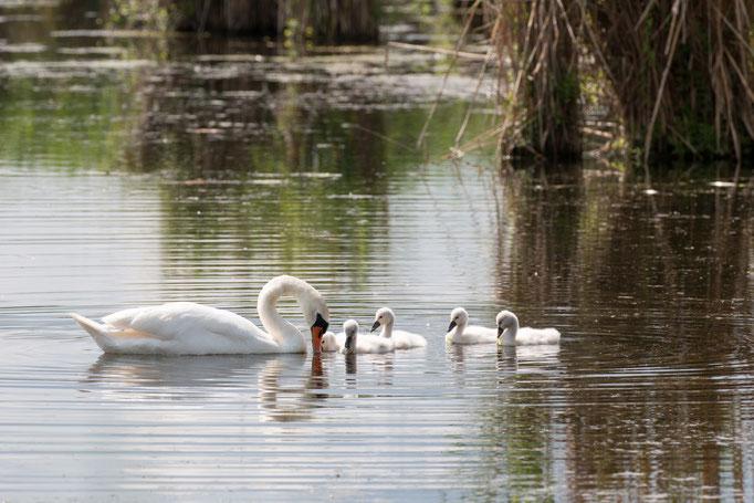 Höckerschwan-Familie  (Foto: B. Budig)