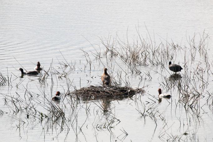Ente  (Foto: B. Budig)