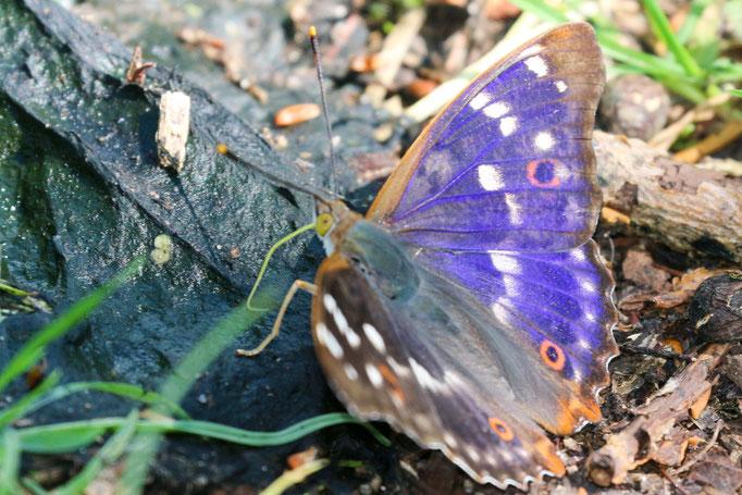 Großer Schillerfalter, Apatura iris, (Foto: E.-M. Maier-Drös)